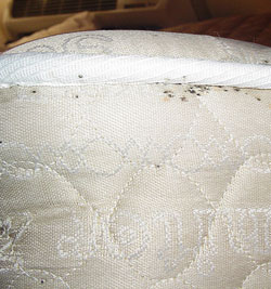How to spot bed bugs